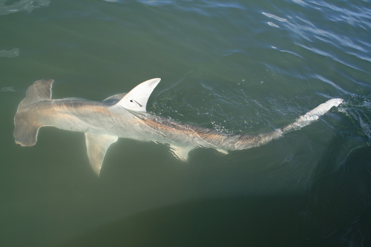 Hammerhead shark fitted with an identification tag.