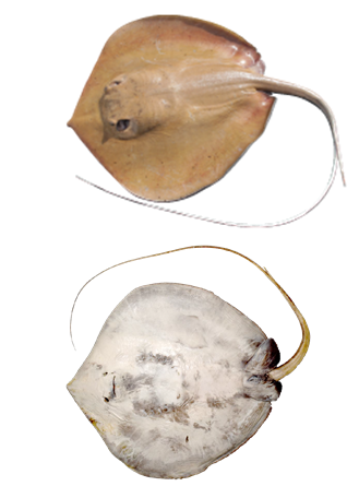 Specimens of the new Mumburarr Whipray.