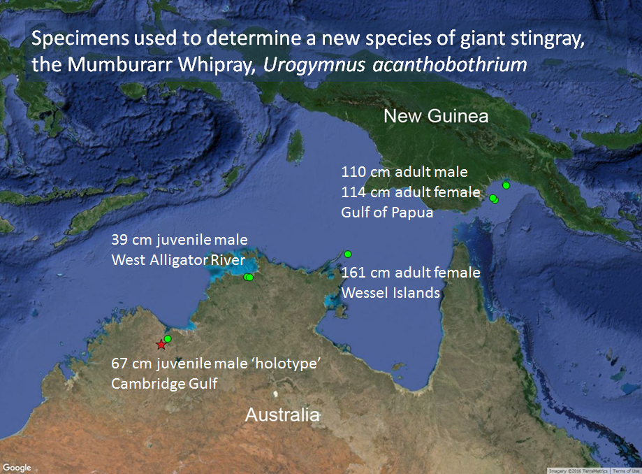 Map of northern Australia and Papua New Guinea showing capture locations of Mumburarr Whipray.