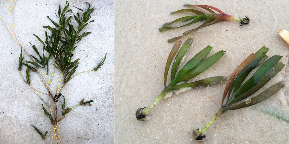 wire weed seagrass adult plant and seedlings on the sand