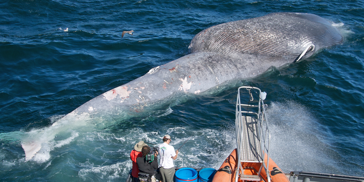 Researchers examine a dead blue whale killed from a collision by a ship