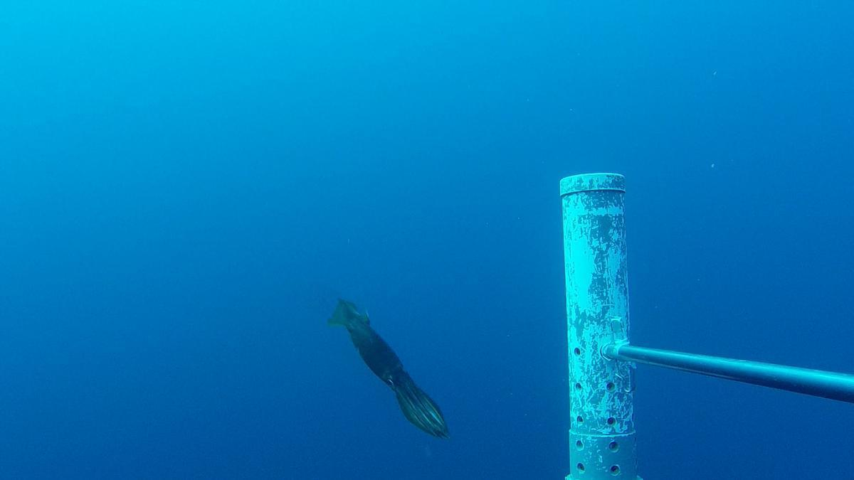 A squid pictured by a mid-water baited remote underwater video system.