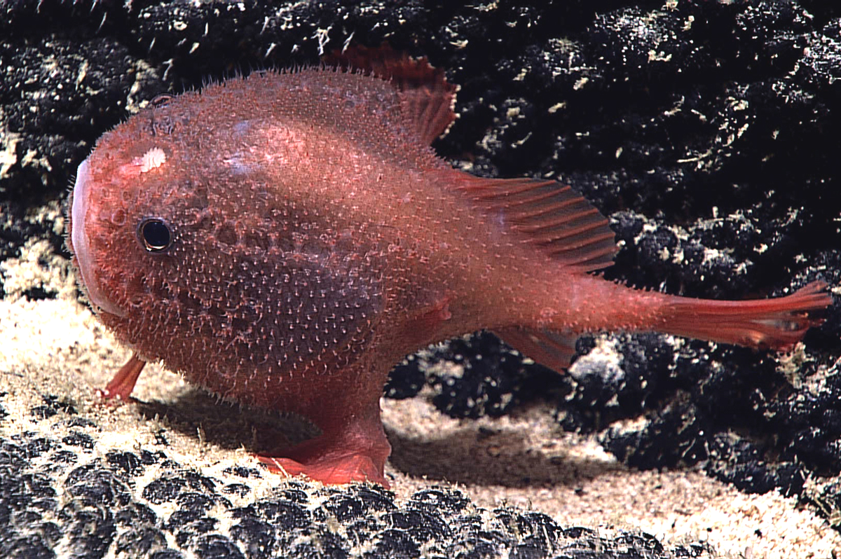 Unidentified species of Chaunacops, photographed by an ROV in deep water southeast of Hawaii.