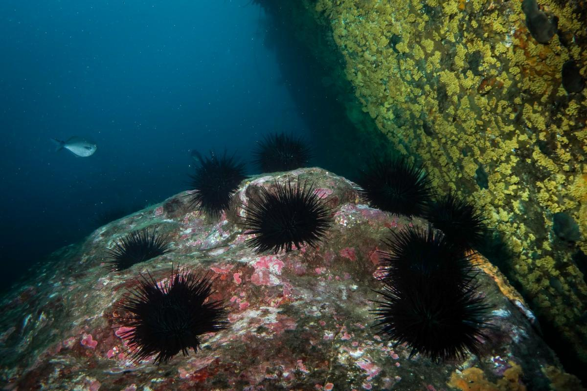 Urchin barrens on the rocky seafloor