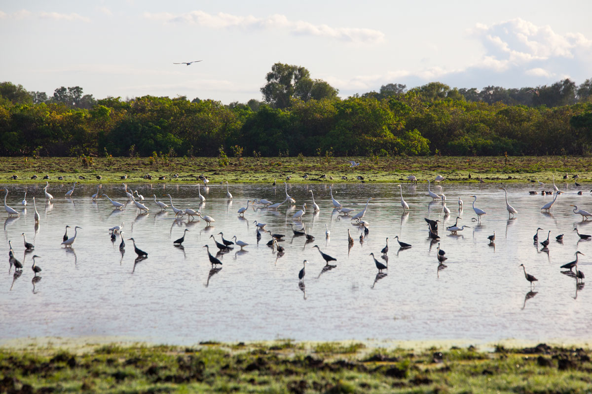 Waterbirds on the Daly River, NT.