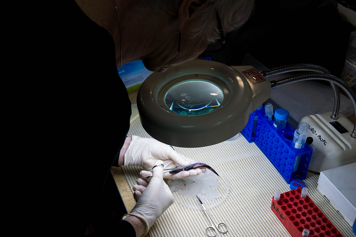 A scientist taking a tissue sample from a fish.