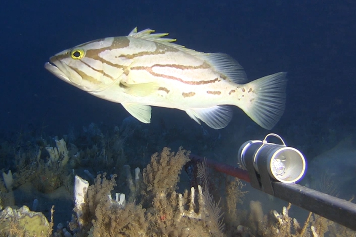 A comet grouper at Ningaloo