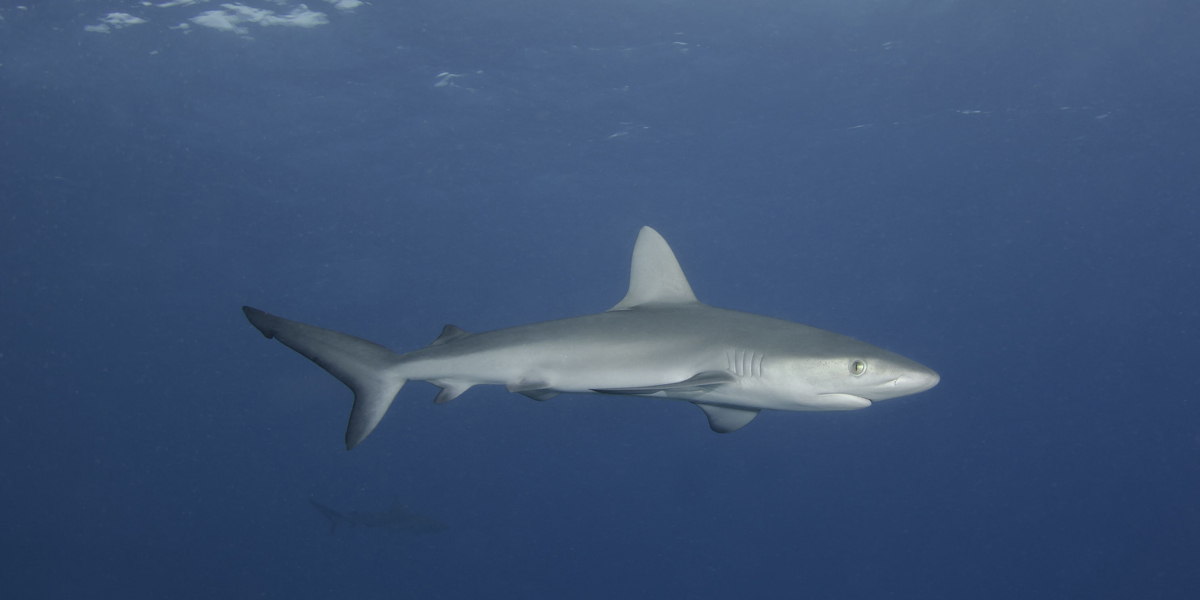 A Galapagos Shark at Middleton Reef