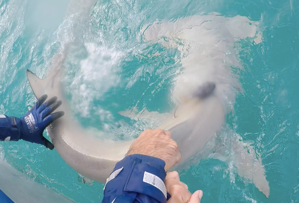 A great hammerhead shark tagged with a miniPAT tag