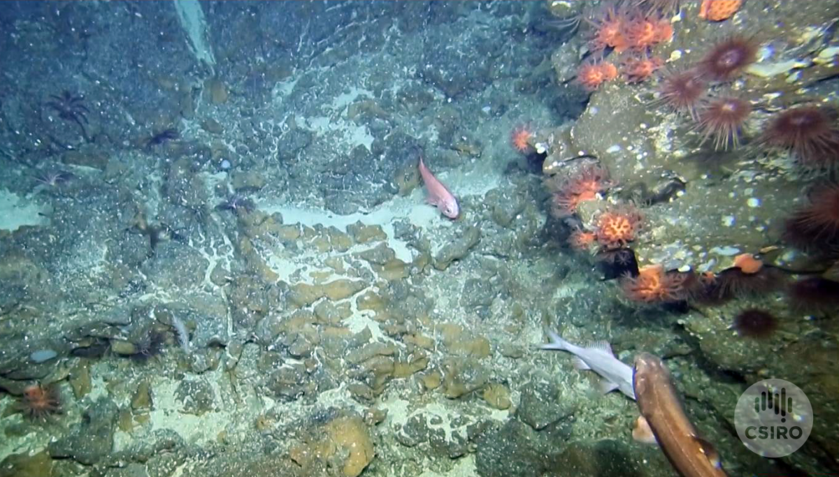 Rocky seafloor, urchins and orange roughy