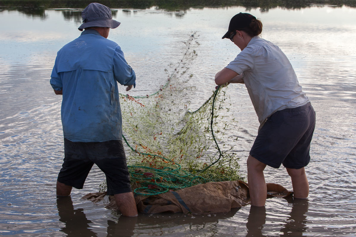 Scientists retrieve a gill net from a Daly River waterhole.