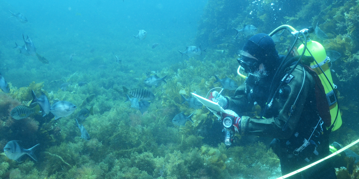 A Reef Life Survey diver conducts a survey on a reef off South Australia