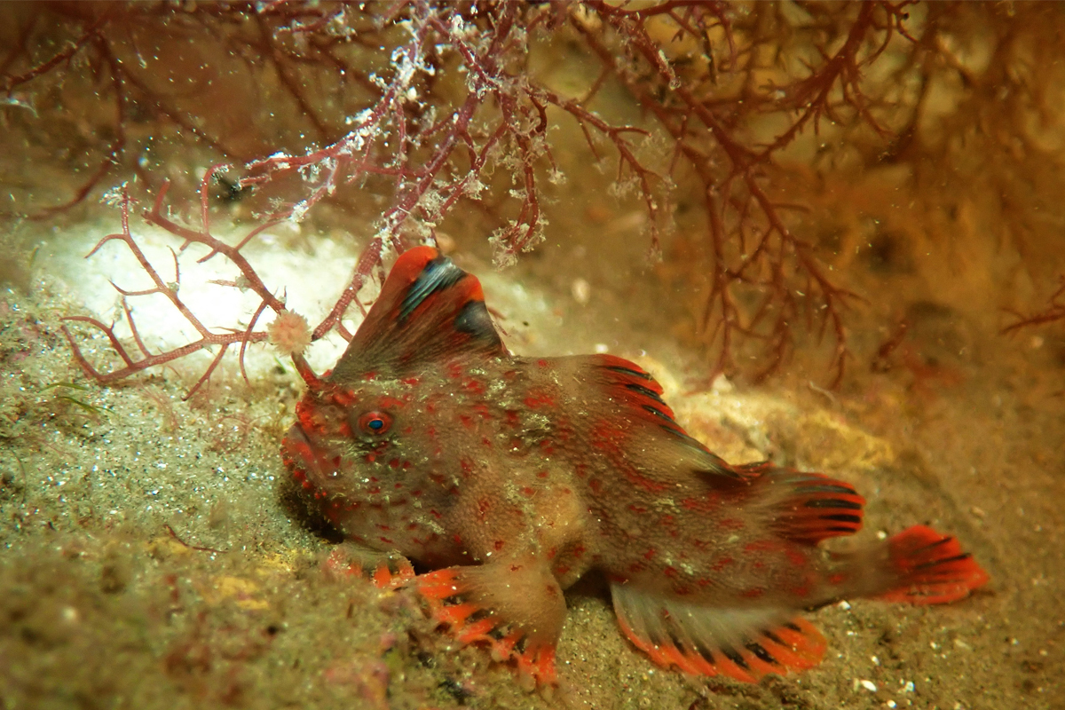 A captive-reared Red handfish on a reef after being returned to the wild.