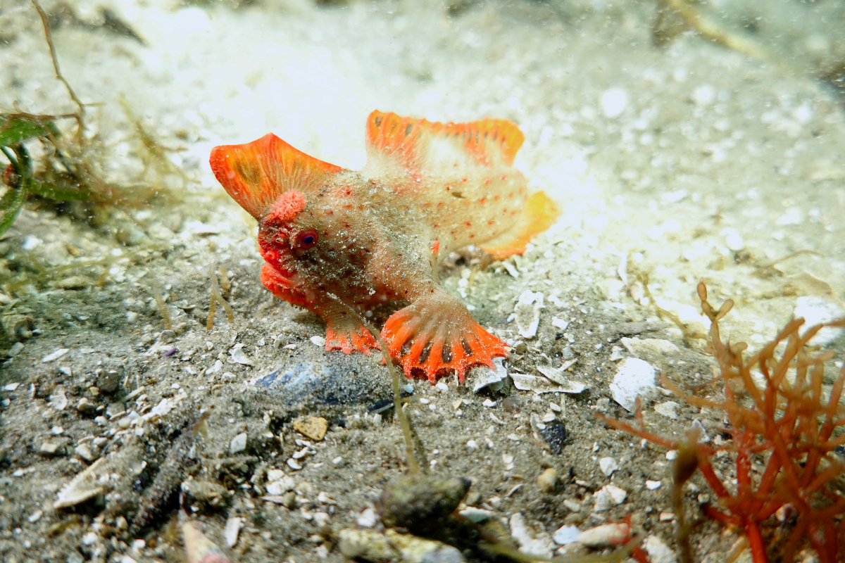 A Red Handfish on the seafloor