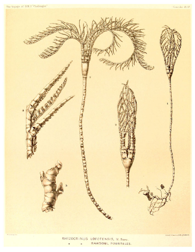 Rhizochrinus lofotensis illustration