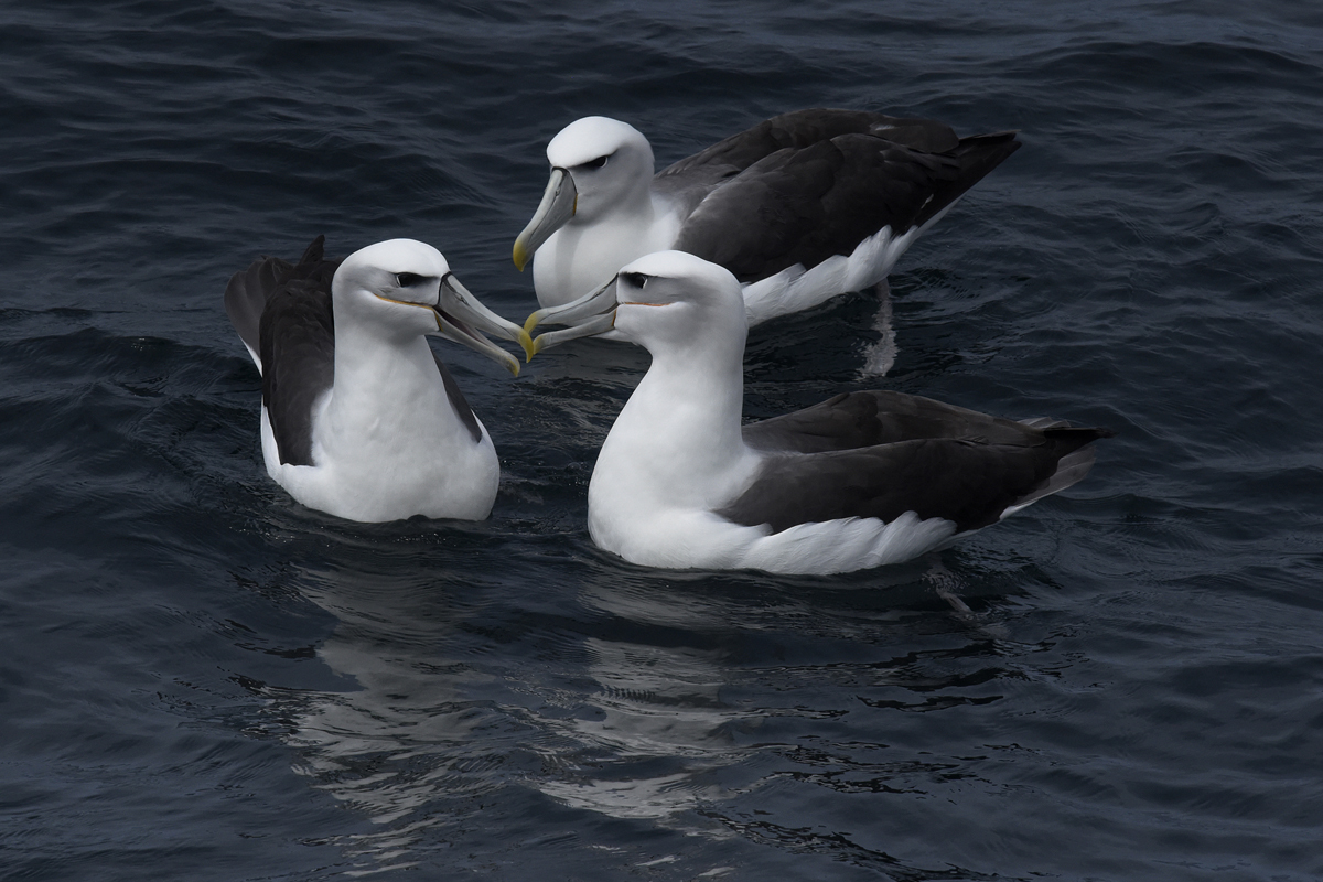 A group of Shy Albatross