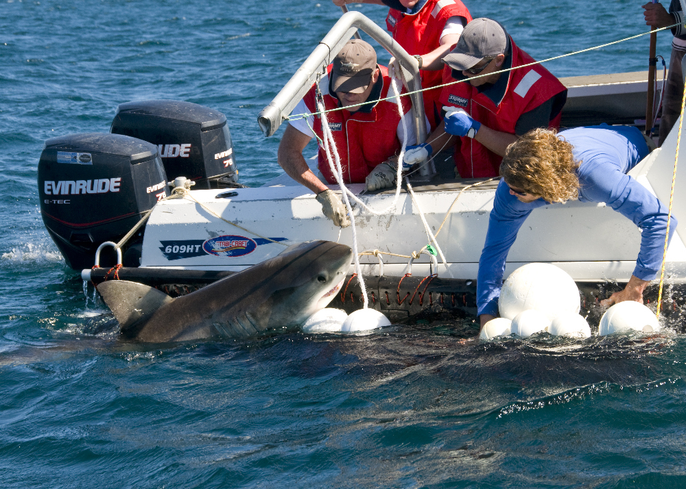 A juvenile White Shark held next to a vessel during tagging off New South Wales.