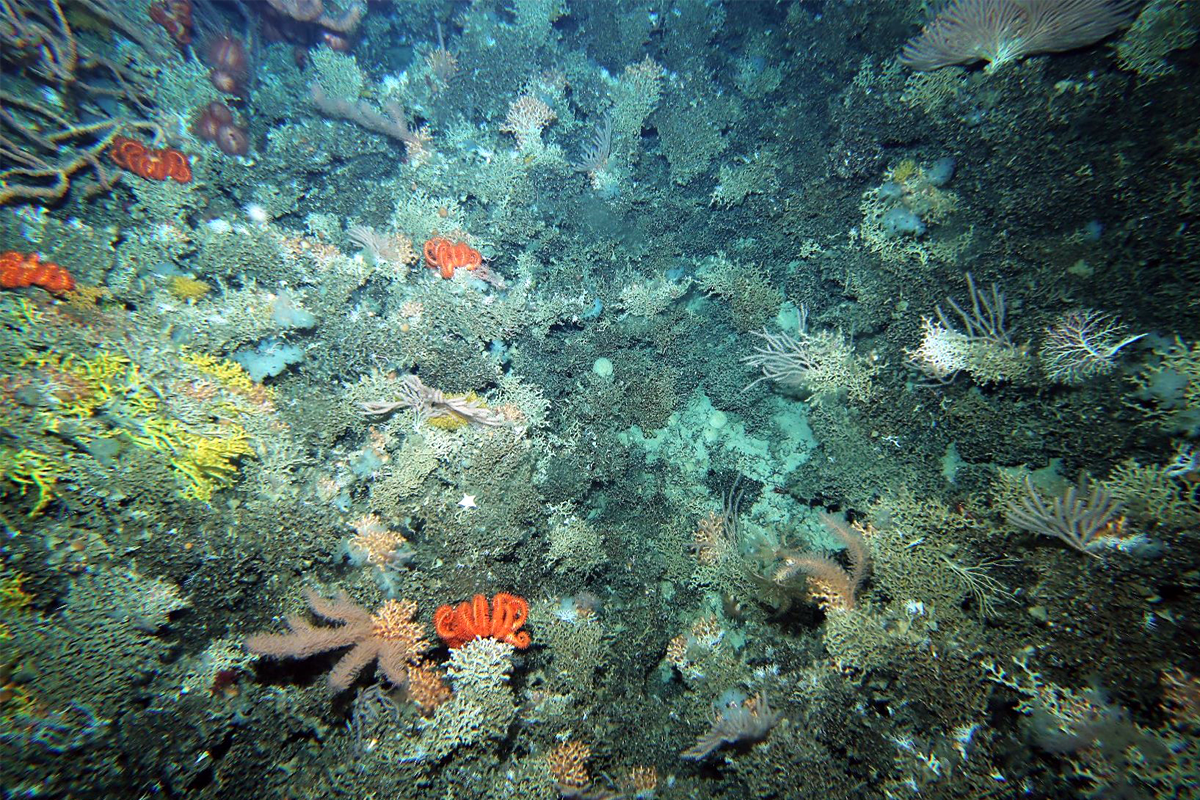 Three stony corals occurred together on this small hill adjacent to the St Helens seamount.