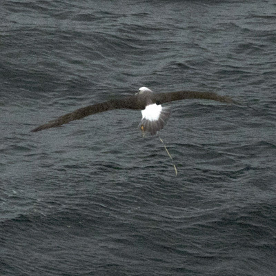 Albatross with balloon at sea