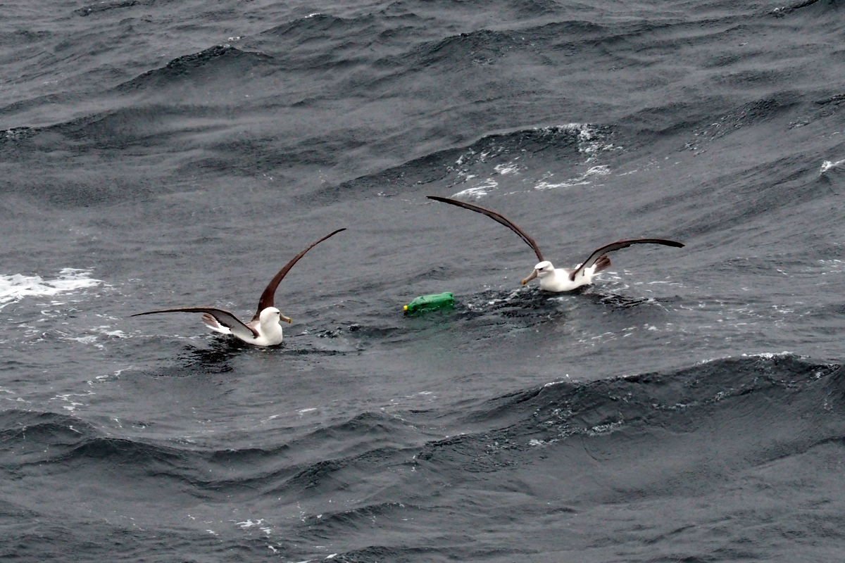 Albatross and plastic bottle