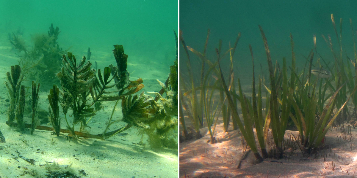Temperate and tropical seagrasses recolonising the seafloor at Shark Bay