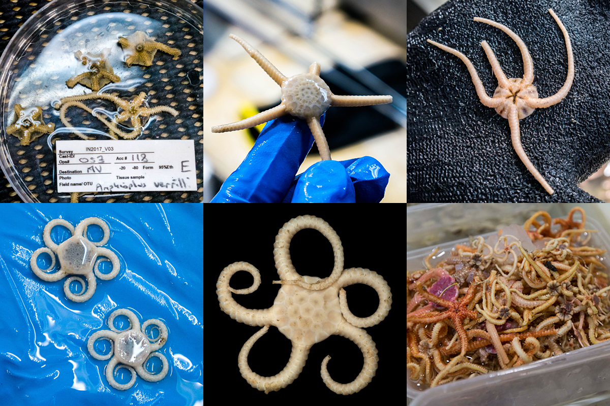 A montage of brittle star specimens