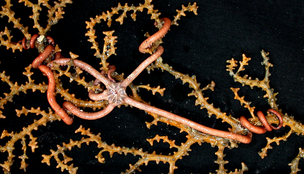 A brittle star on coral