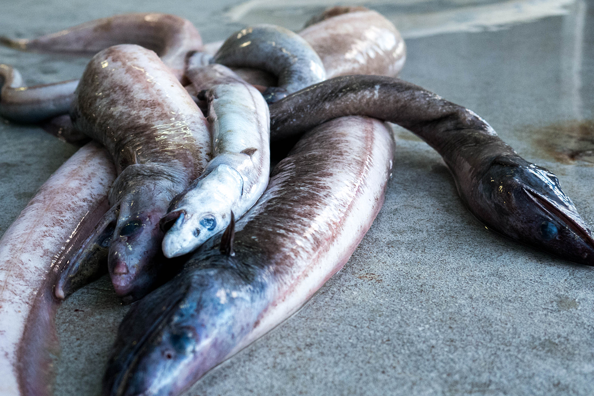 A catch of eels from the RV Investigator voyage to the abyss.