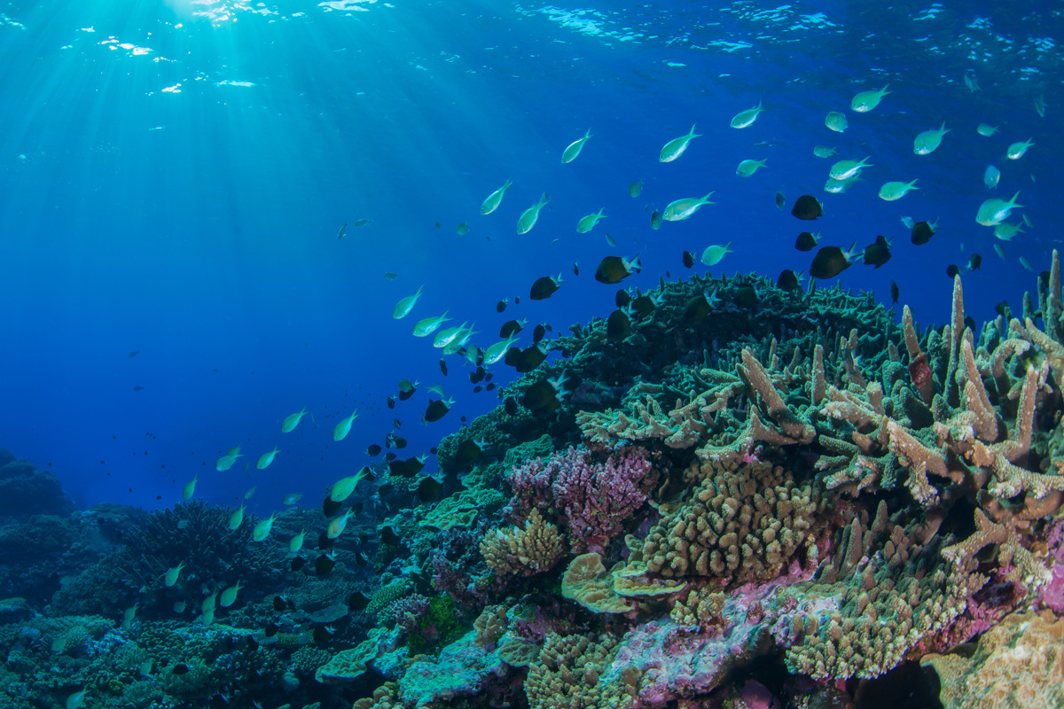 Fishes swim above a coral reef in the Coral Sea