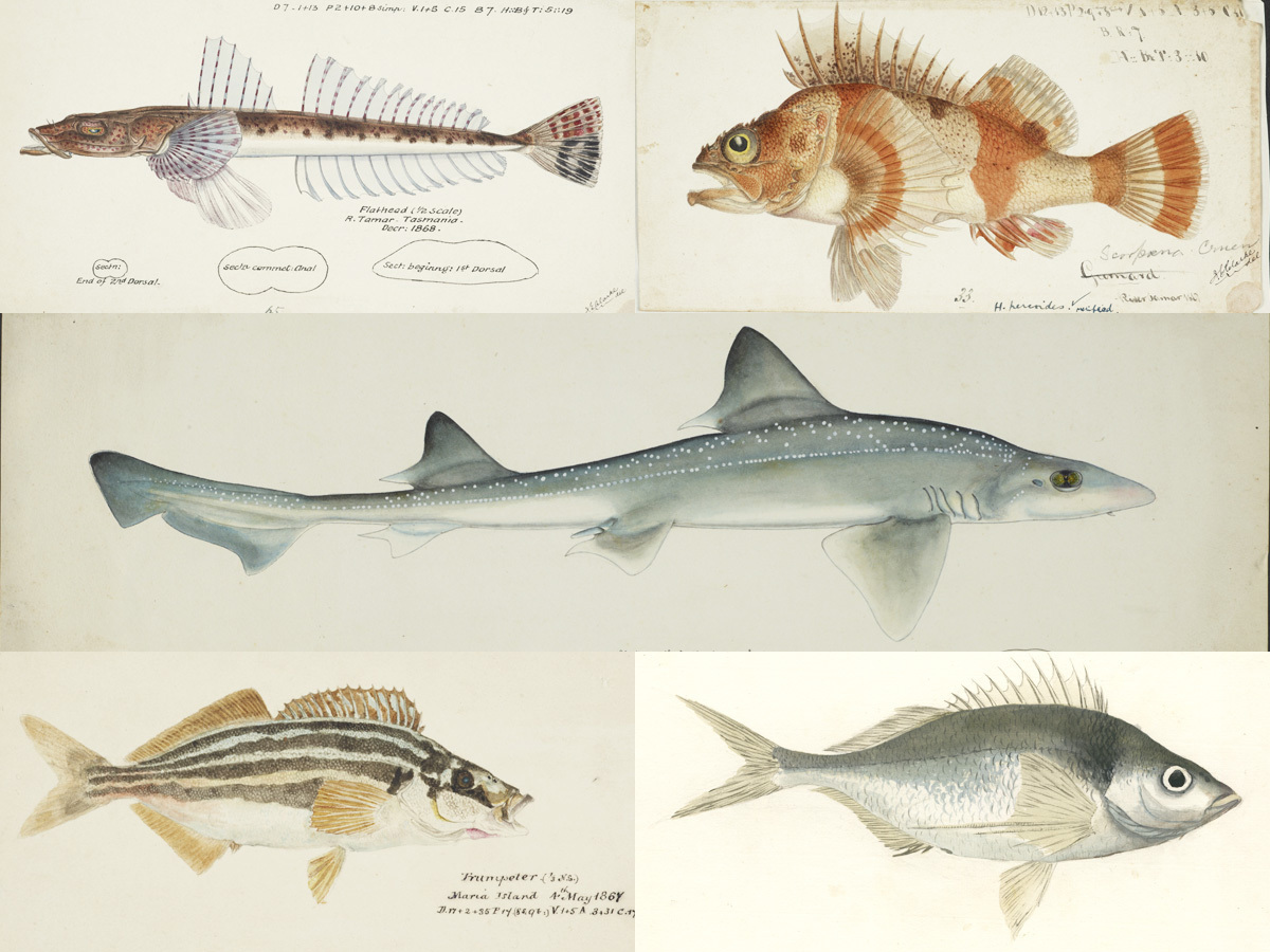A composite of five paintings of fish found in Flinders Marine Park