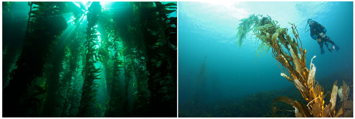 Photos of a healthy and a degraded giant kelp forest