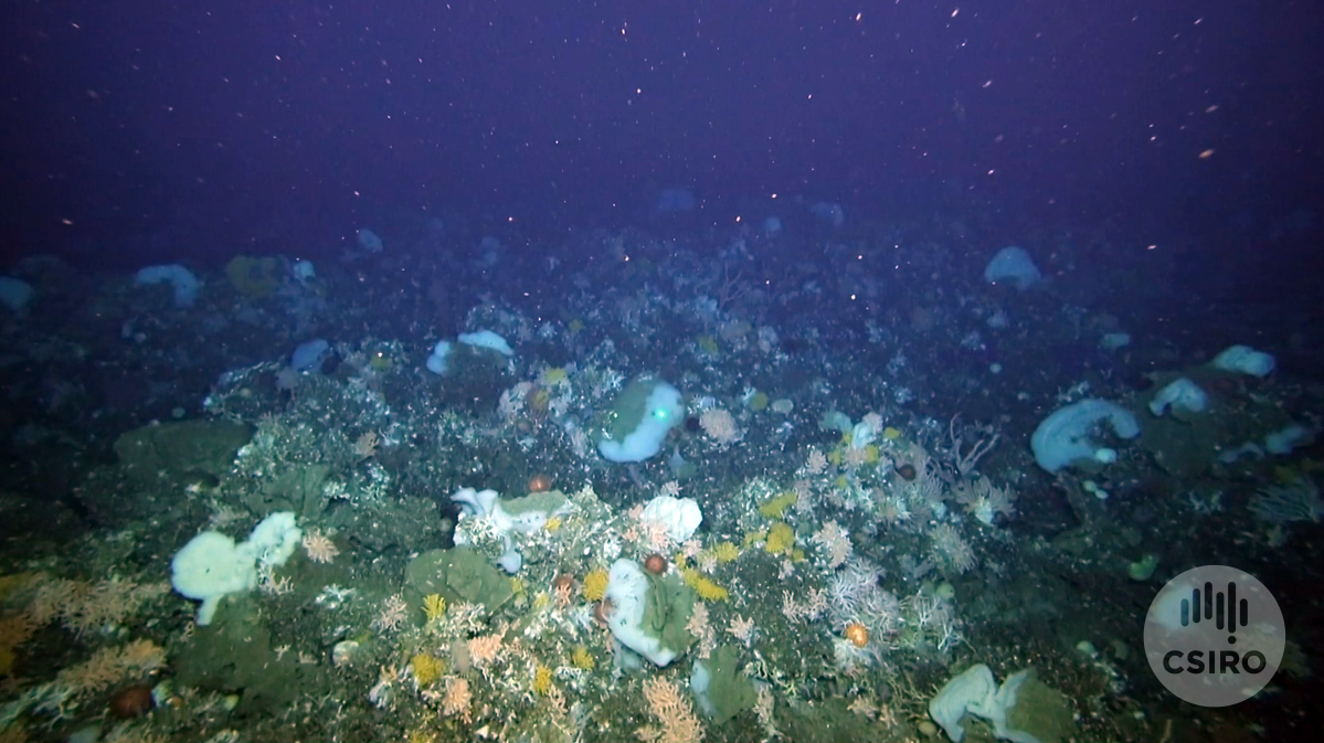 Diverse seafloor life at little sisters seamount