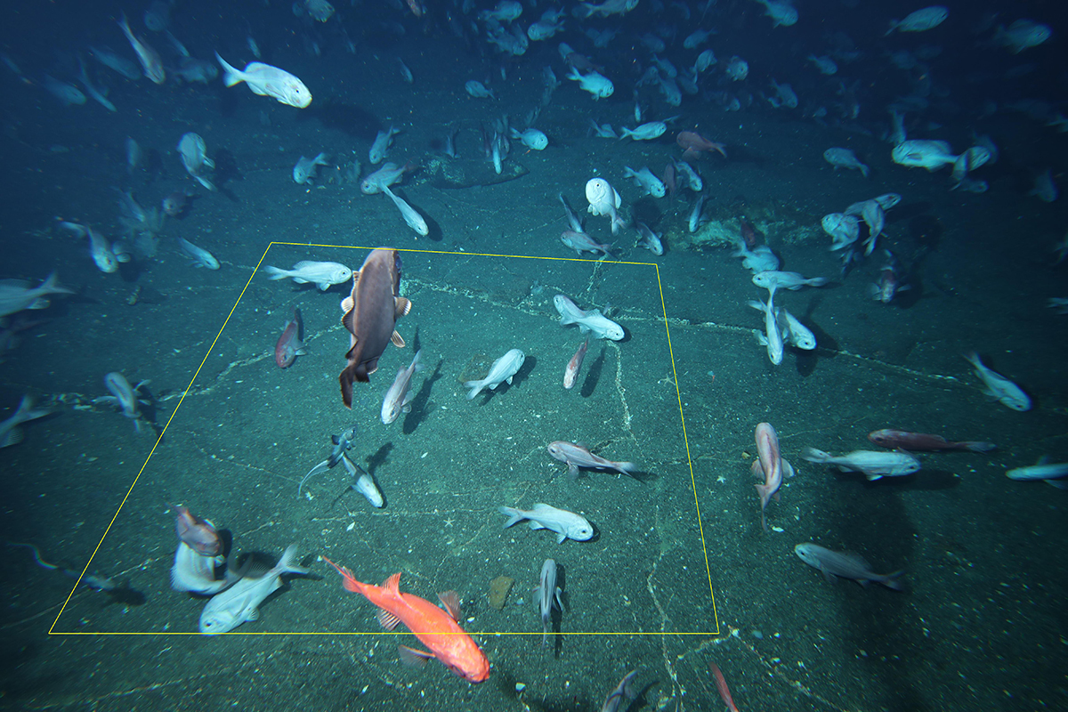 orange roughy on the seafloor with a marked quadrat