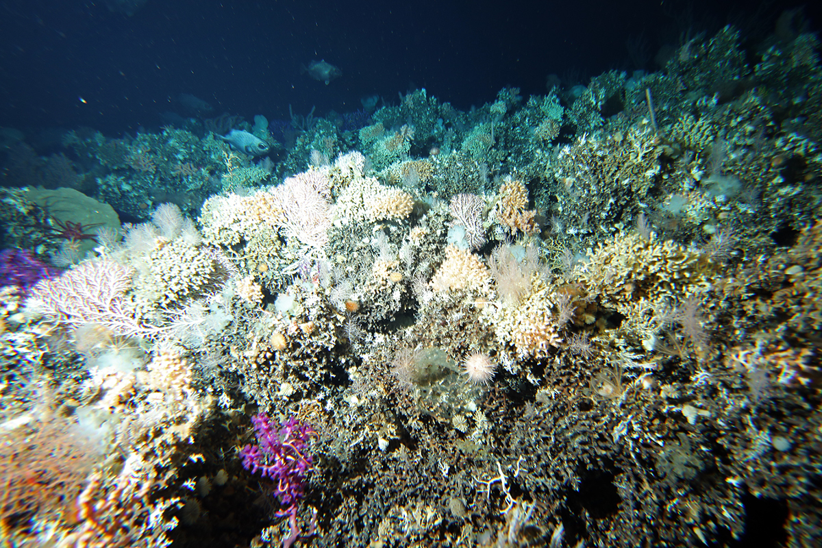 Purple corals on the seafloor