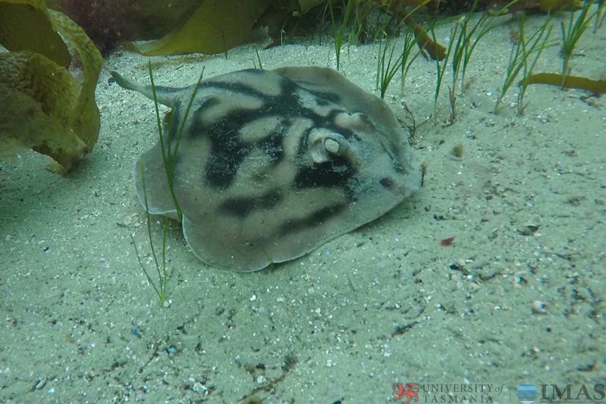 a ray on the seafloor
