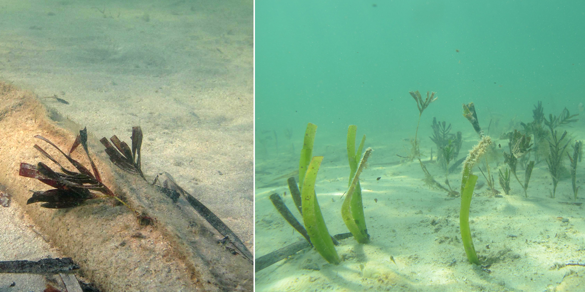 Seagrasses regrowing on the seafloor at Shark Bay