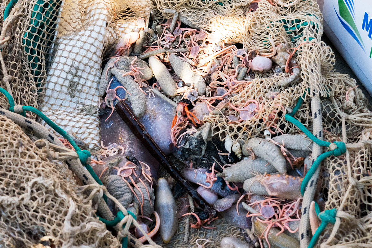 Sea cucumbers and brittle stars in the net