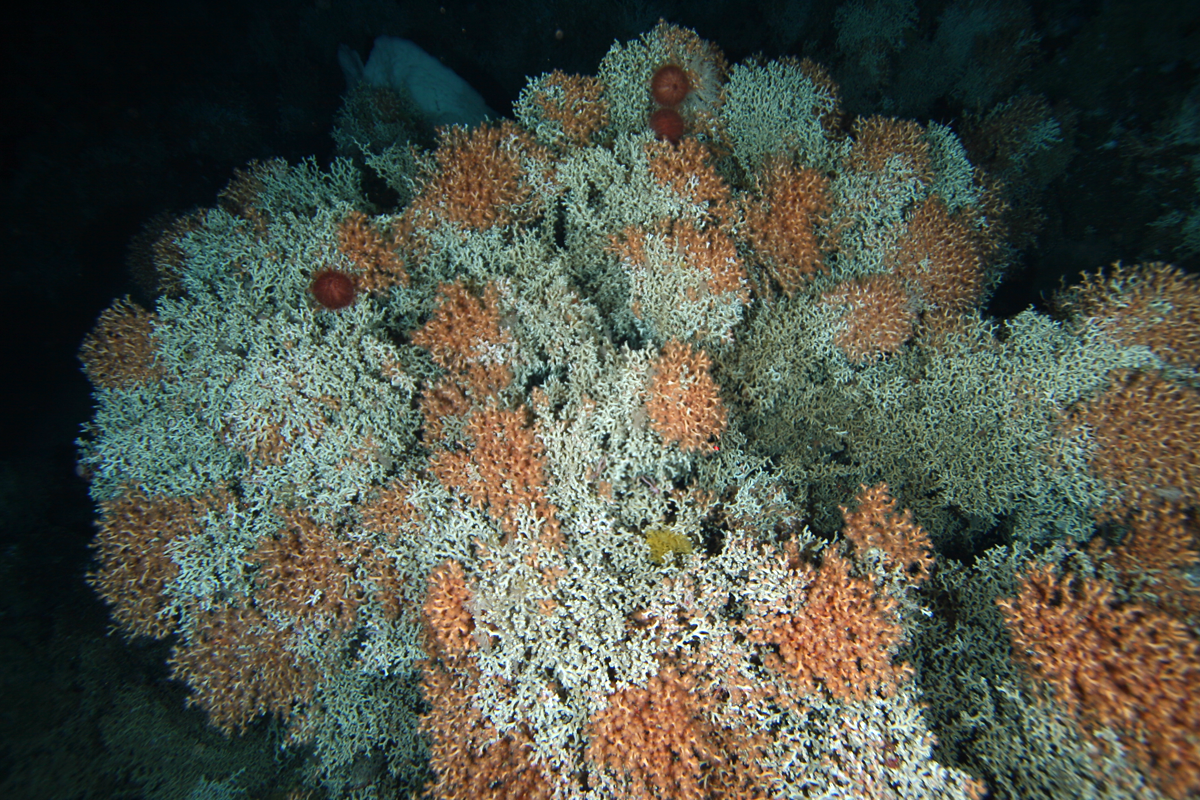 A matrix of stony coral Solenosmilia variabilis