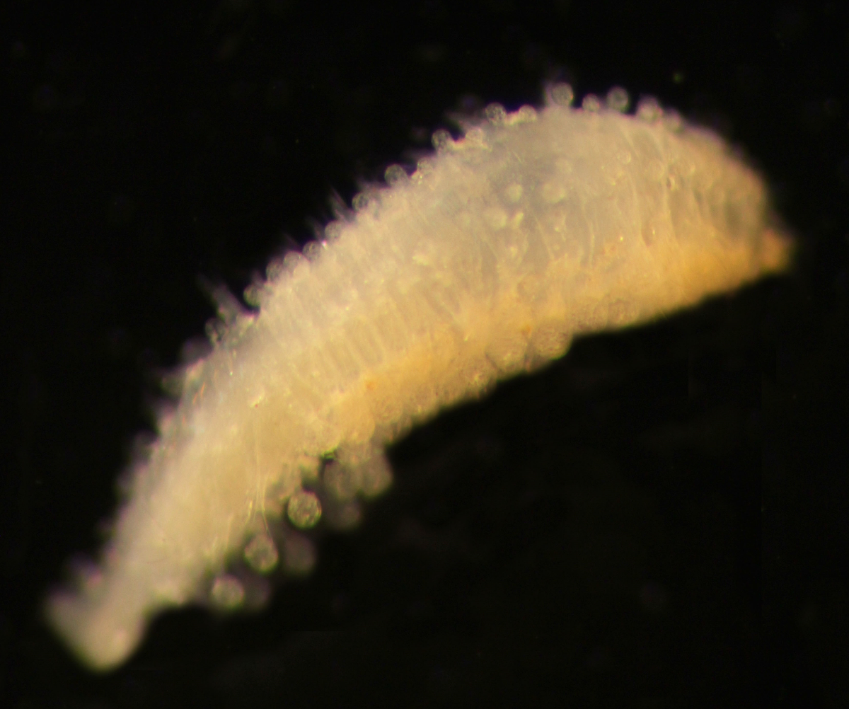 A two-millimetre-long sphaerodorid (polycheate worm)