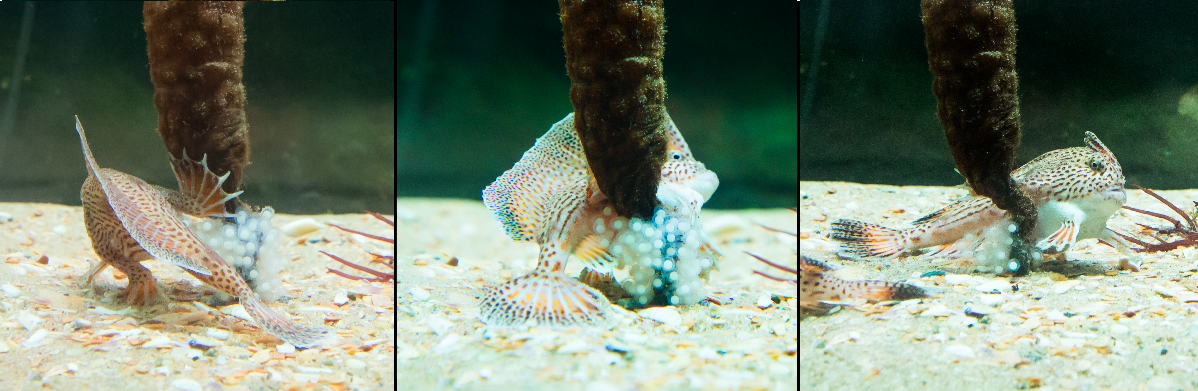 Spotted Handfish spawning in an aquarium