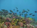 Parrotfish school over tropical reef habitat Houtman Abrolhos Image:Reef Life Survey