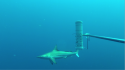 Australian Oceanic Blacktip Shark Image:  UWA