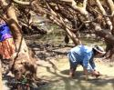 CDU's Peter Kyne rescues juvenile largetooth sawfish from a waterhole near the Daly River.