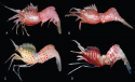 eep water shrimps are only found within a narrow band of depth on the continental margin, Australia.  Images:  Karen Gowlett-Holmes and G Millen