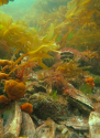 Mixed flat oyster and mussel reef. George's Bay, Tasmania. Image Chris Gillies