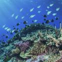 Coral and fishes on a coral reef in the Coral Sea