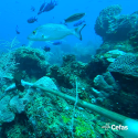 Caribbean reef fish filmed by the stereo BRUVS