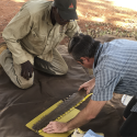 A scientist and an Indigenous ranger measure a Largetooth Sawfish rostrum