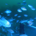 Fish gathering around a baited underwater camera