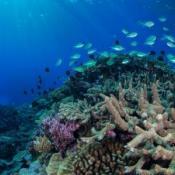 Coral Sea, Reef Life Survey.  Image Rick Stuart-Smith, UTAS